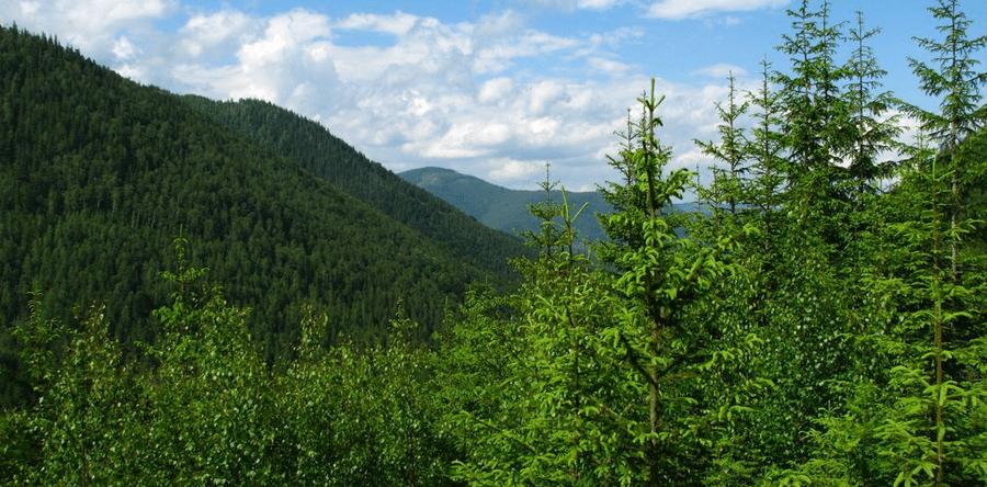 Лес в Карпатах