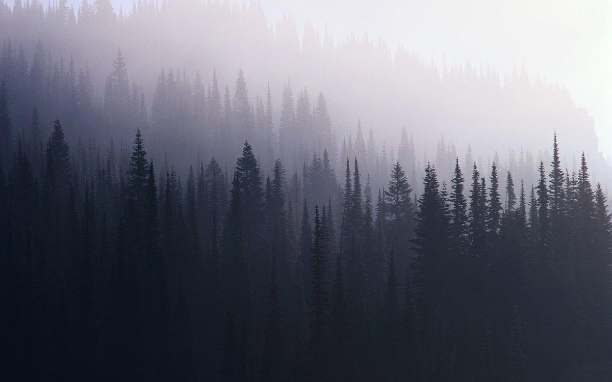 Утренний туман в хвойном лесу